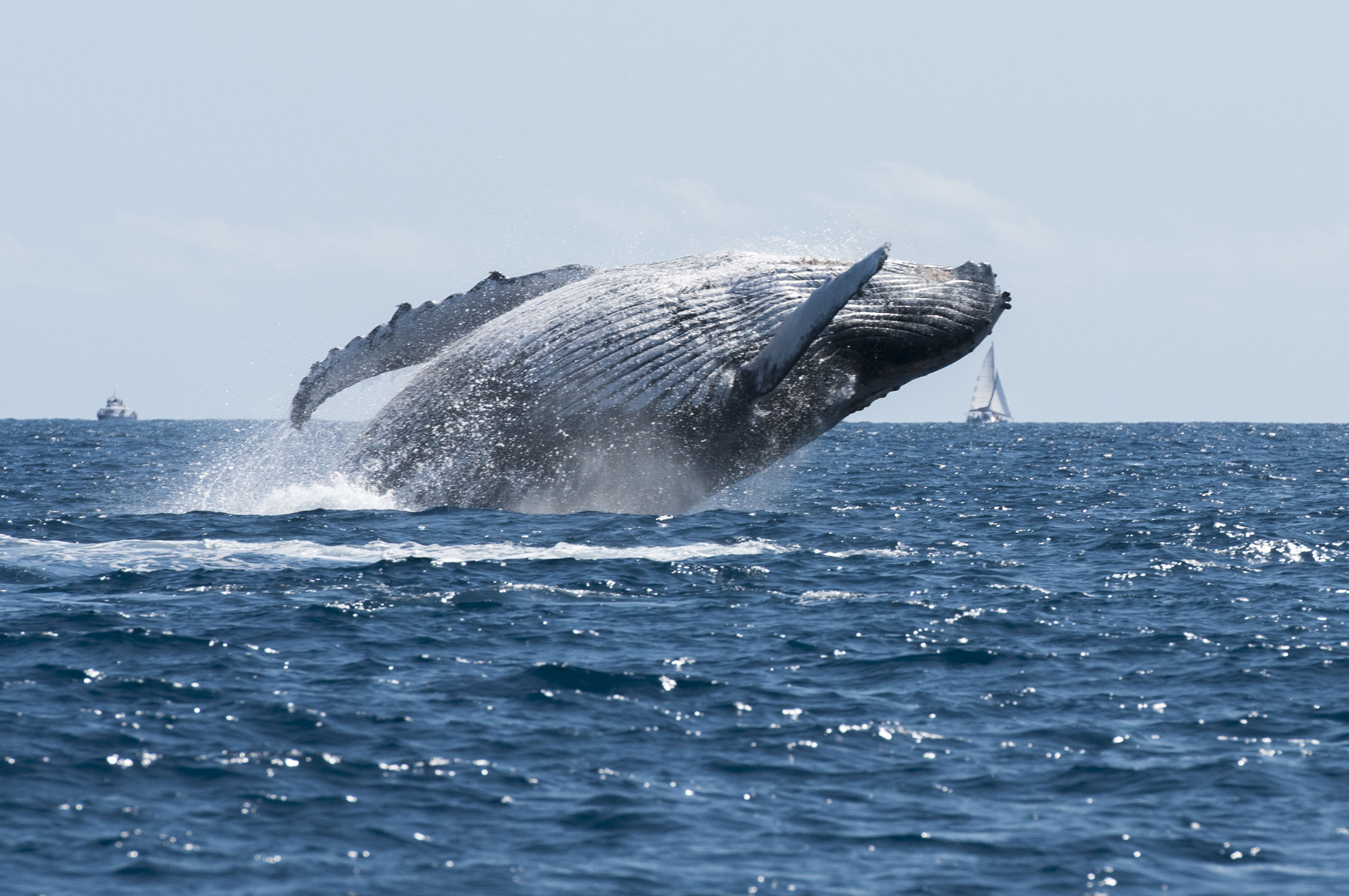ocean and great blue whale Amazing facts about the blue whale the blue whale is the largest animal ever to have lived on earth despite being so massive, this giant of the ocean feeds on some of the smallest marine life - tiny shrimp like animals called krill.